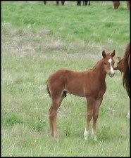 Hillview Paints and Quarter Horses for sale SK