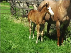 Hillview Paints and Quarter Horses - Horses for sale - Sk
