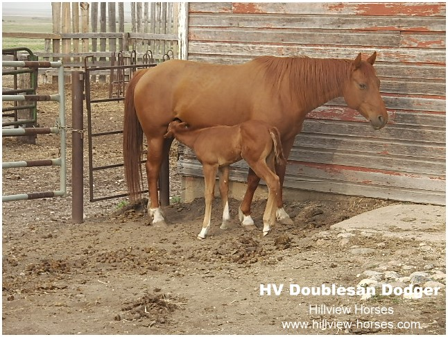 Hillview Paints and Quarter Horses - for sale in SK